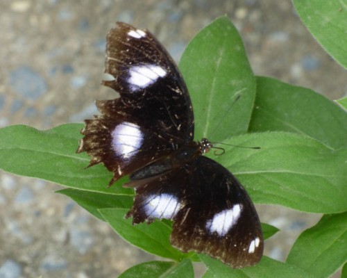 Bluemoon-Great Eggfly butterfly Phiami Thailand
