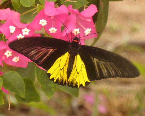 Common Birdwing butterfly Phimai Thailand