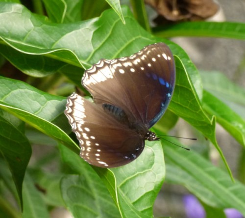 Bluemoon butterfly Phimai